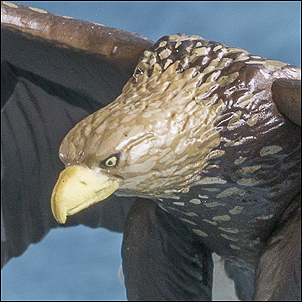 File:White-tailed Eagle.jpg