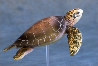 Colorata Green Sea Turtle 1 3.jpg